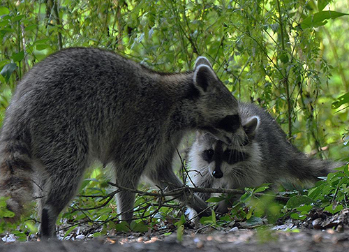 Raccoons and other wildlife call Wekiwa State Park home.