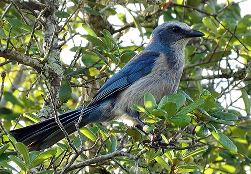 Florida Scrub-jay Merritt Island NWR has one of three strong hold populations of the threatened Florida scrub-jay.